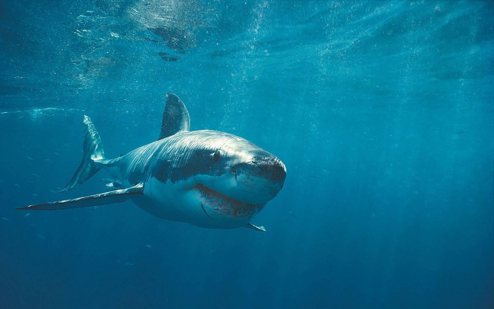 download shark wallpapers wallpaper - photo #32