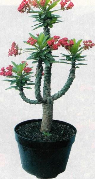 Euphorbia milii Tanpa Duri Dengan Teknik Penyambungan