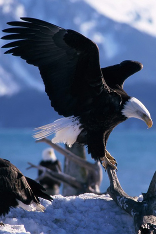 Iphonezone 15 Awesome Eagle Wallpapers For Iphone