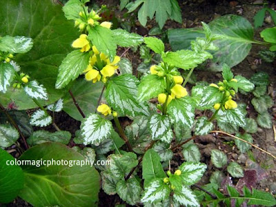 Variegated Yellow Archangel-Lamiastrum argentatum
