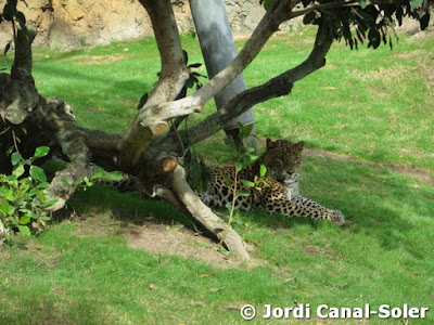 Leopardo en Bioparc Valencia