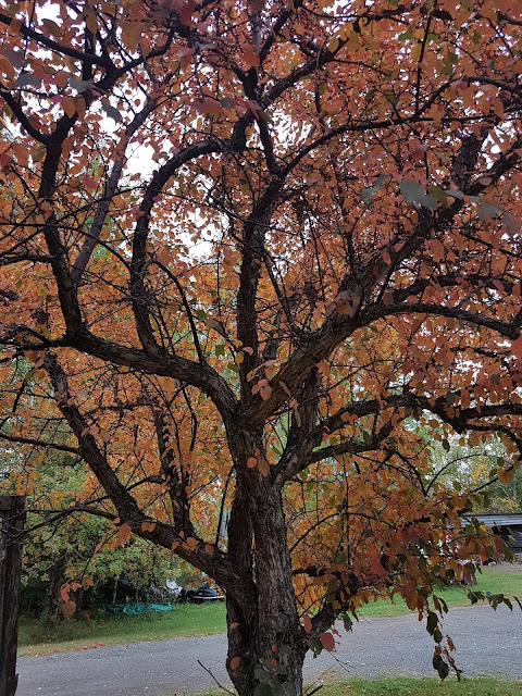 apple tree in Fall