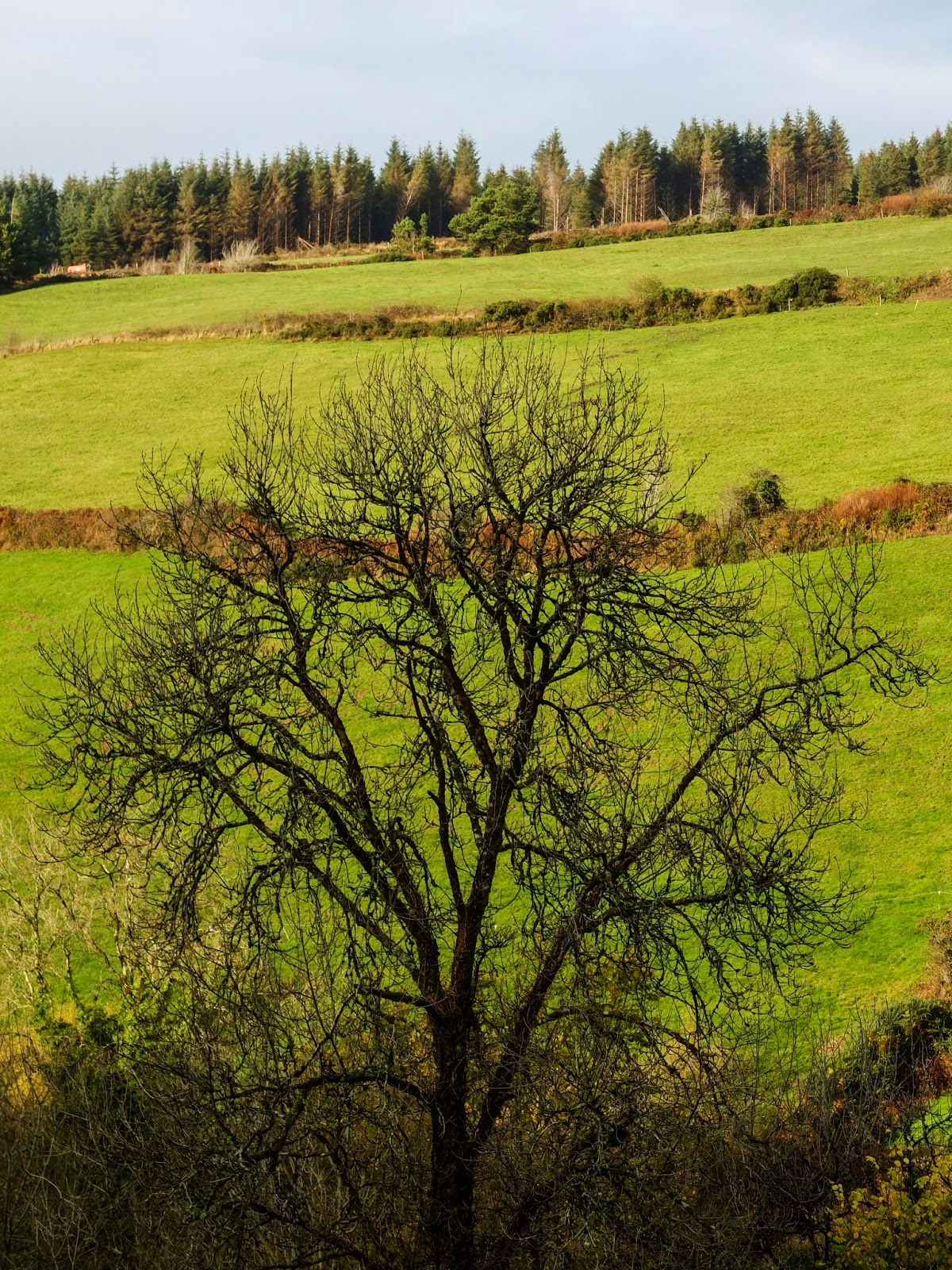 A bare Ash tree in a valley in North Cork.
