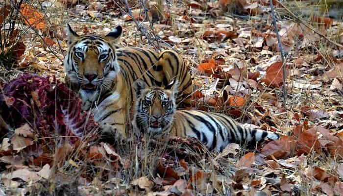 The wildlife india, Tiger, Bandhavgarh, Bandhavgarh national park,