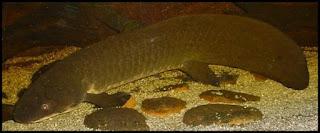 Lungfish, Ikan Yang Dapat Bertahan Hidup Di Darat Tanpa Air Dan Makanan Hingga Bertahun-Tahun