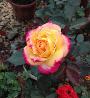 hoa hồng đổi màu có thể biến đổi màu sắc khi nở