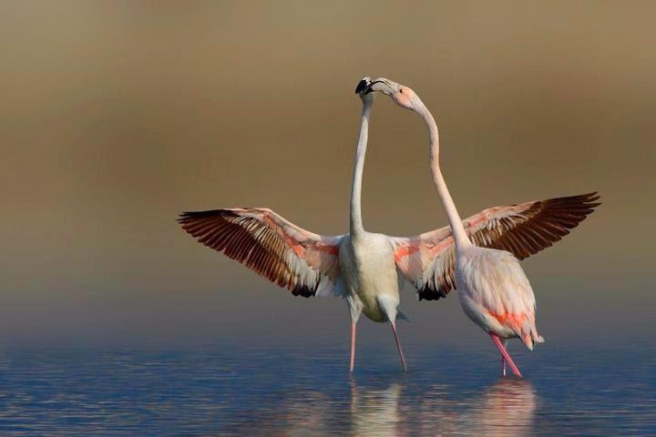 kissing flamingo birds
