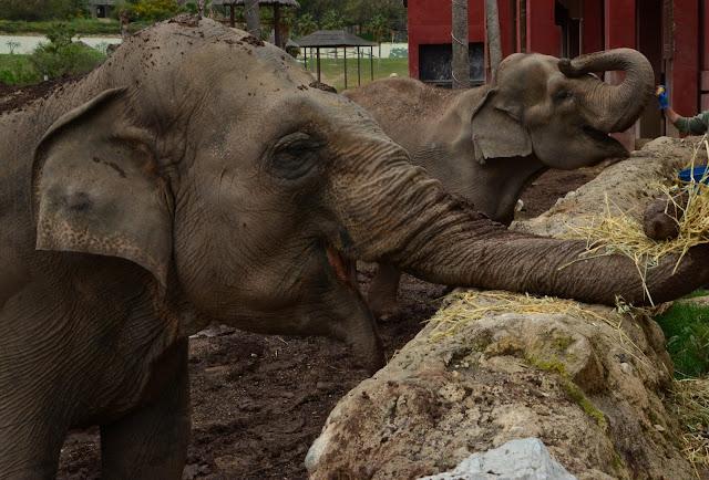alimentación elefantas