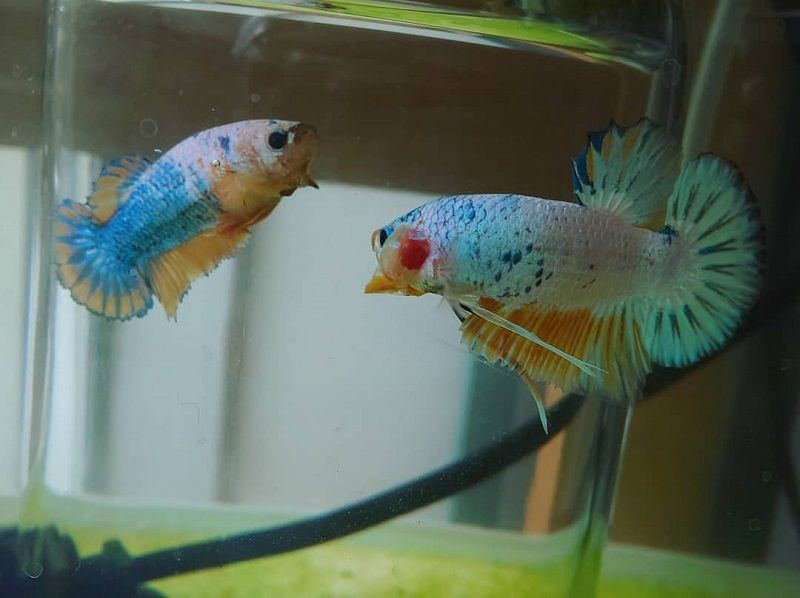 Image Lies You've Been Told About Betta Fish Flaring