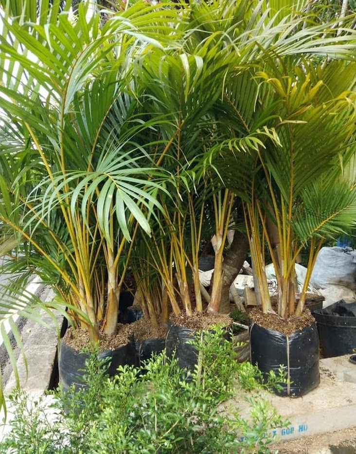 Bibit Tanaman Pohon Pinang Palem Kuning Tanaman Pohon Hias Padang