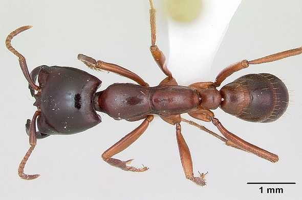 siafu-african-ants-سيافو-النمل-الافريقي