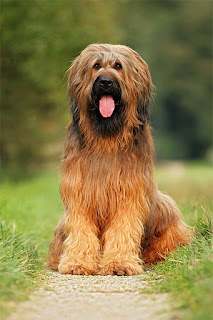 Everything about your Briard