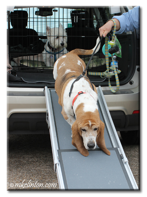 Basset Hound walking down Solvit Pet Ramp