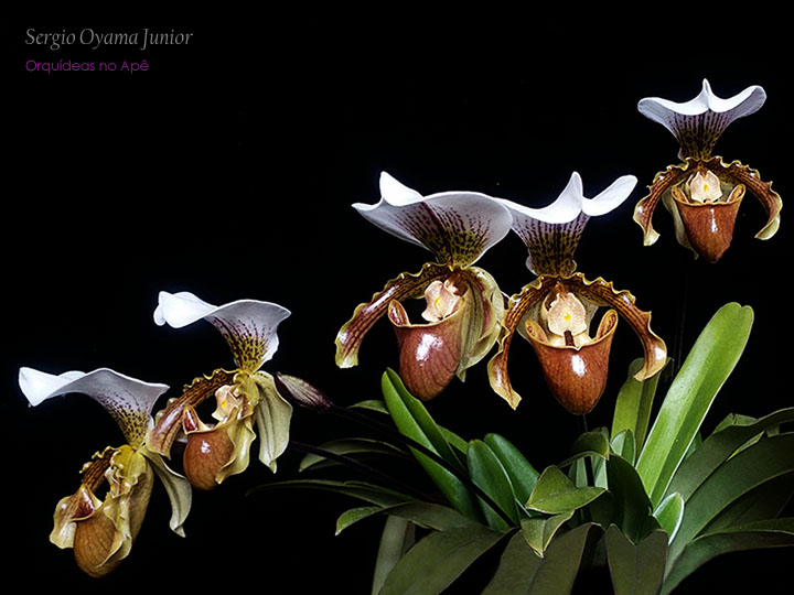 Top 10 Orquídeas de Sombra