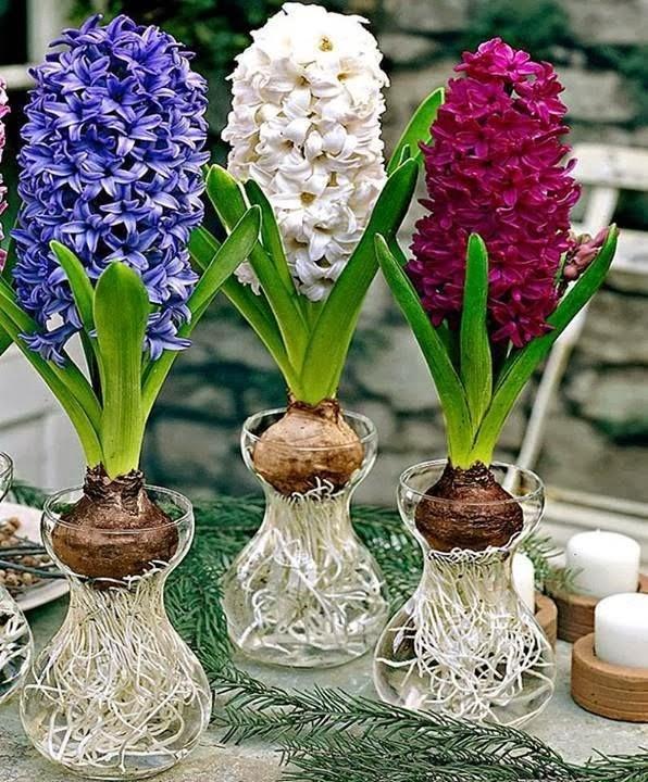 s mb l hyacinthus bakimi i ek bak m i ek e itleri i ek t rleri i ek simleri. Black Bedroom Furniture Sets. Home Design Ideas