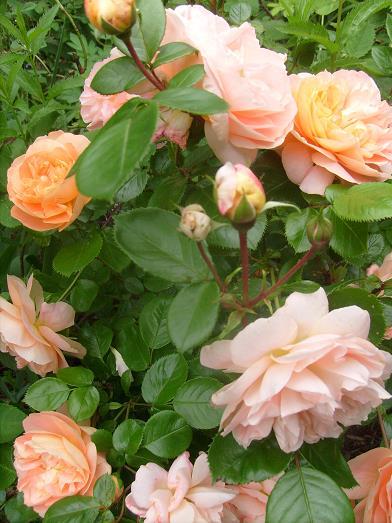 ma plan te jardin sch ne vom see un rosier kordes la floraison pr coce et tr s g n reuse. Black Bedroom Furniture Sets. Home Design Ideas
