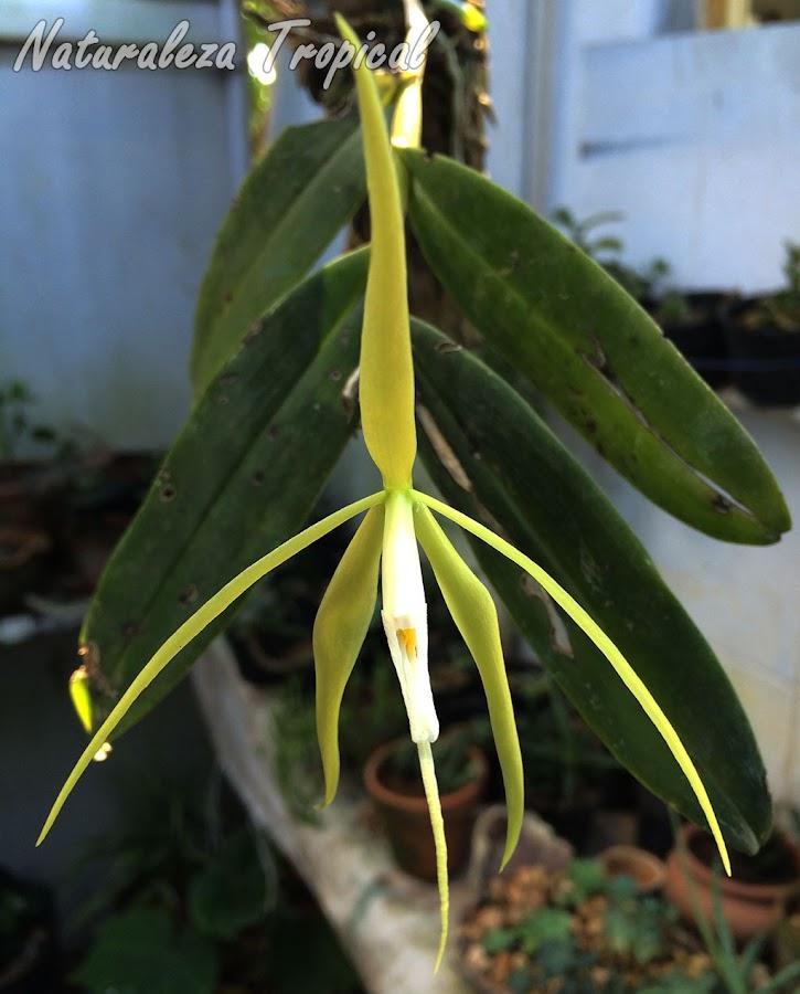 Otra imagen de la flor de la Orquídea Dama de la Noche, Epidendrum nocturnum