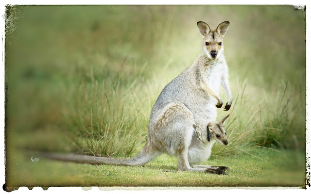 Australia national animal