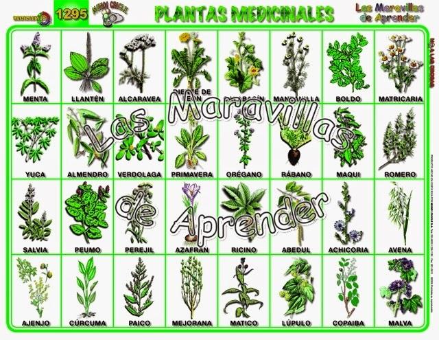 Plantas medicinales plantas medicinales mas comunes for Plantas ornamentales mas comunes
