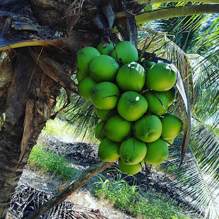 Pada laman ini saya akan menyajikan apa itu sistem kultur yang seringkali dipakai untuk penyemaian bibit tanaman untuk memperolah varietas unggul. Sistem  kultur jaringan diterapkan untuk tanaman kelapa genjah kopyor dengan tujuan mendapatkan pohon kelapa kopyor yang buahnya kopyor semua alias 100%.