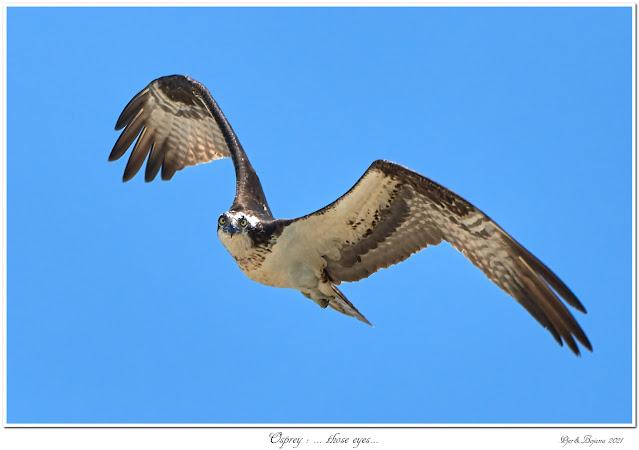 Osprey: ... those eyes...