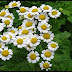 Feverfew: A Potential Remedy For Migraine
