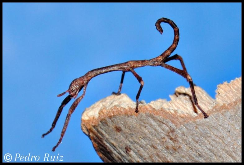 Ninfa macho L1 de Achrioptera manga, 1,9 cm de longitud