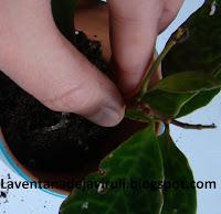 plantar-aeschynantus-marmoratus