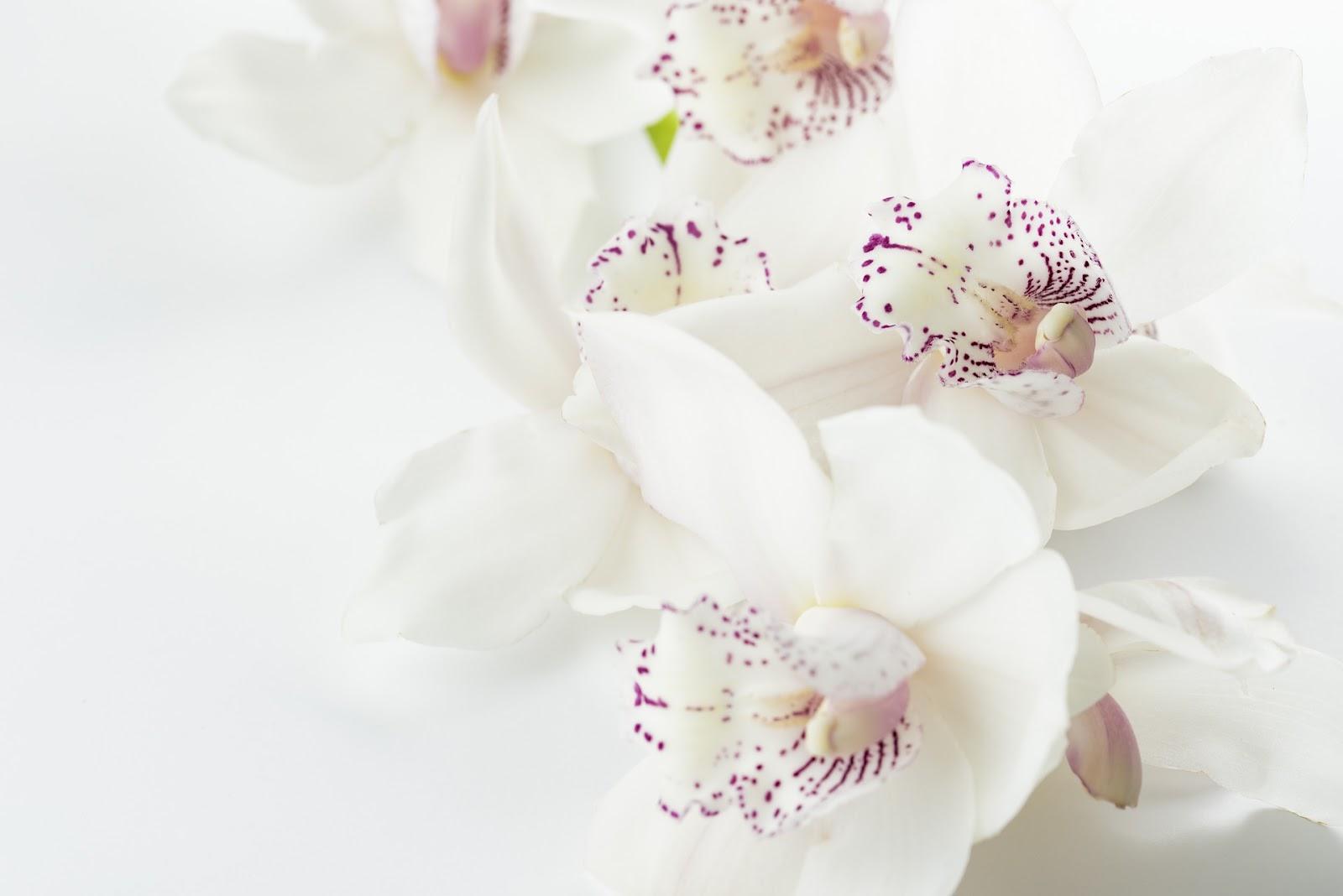 Gambar bunga anggrek cantik