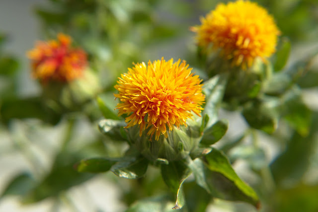 علاج الصلع بعشبة العصفر