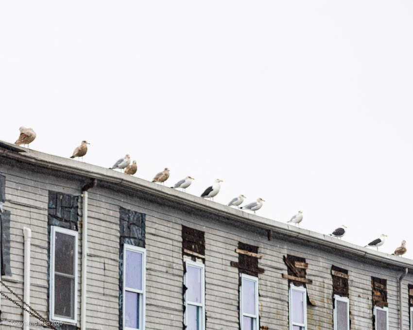 Portland, Maine USA December 2019 photo by Corey Templeton. Seagulls lined up at Custom House Wharf.