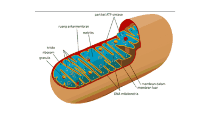 - Mitokondria