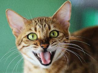 صوت القطط استمع وأعرف ما أسم صوت القطة