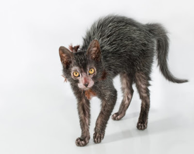 Karakter Ras Kucing Lykoi