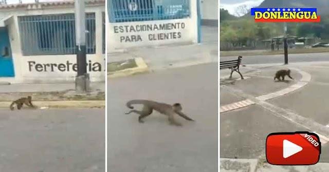JUMANJI | 40 Monos hambrientos se escaparon de un zoológico de Maracay