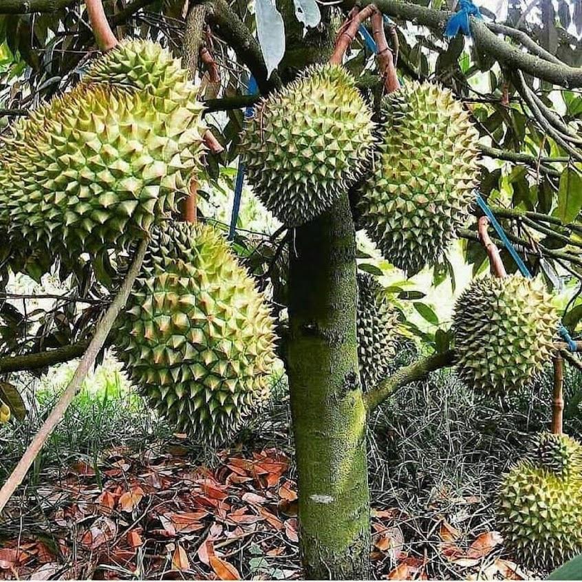 Bibit Durian Bawor Hasil Okulasi Cepat Berbuah Bisa COD Singkawang