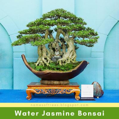 Water Jasmine Bonsai