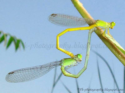 Damselflies Mating Picture