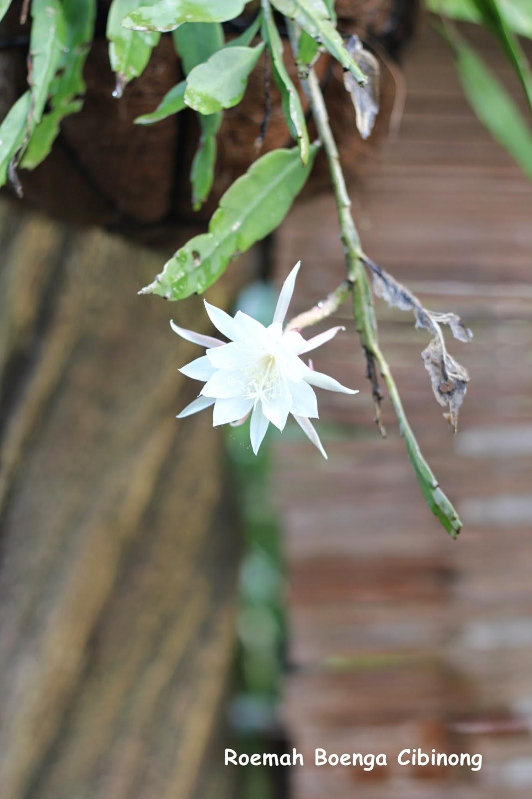 Bunga Wijaya Kusuma Bunga Misterius