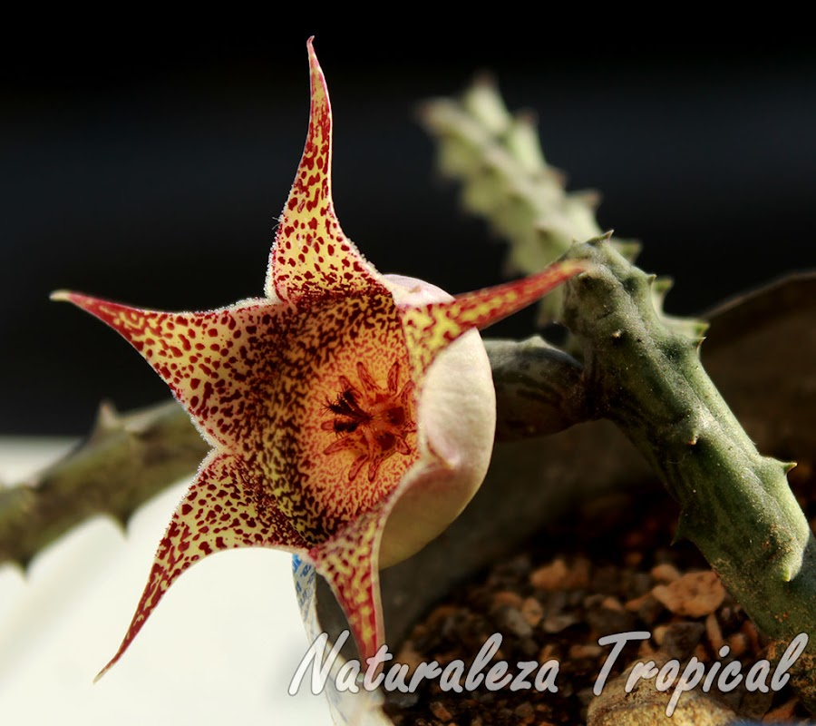 Vista de la flor y tallos de la planta suculenta Orbeanthus hardyi