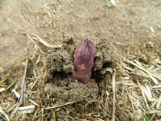 New-asparagus-spear-emerging-from-soil