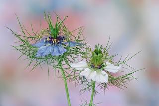 Schwarzkümmel Blüte