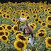 Sunflower Kediri Salah Satu Spot Selfie Andalan di Kediri