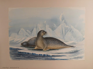 Watercolor os two seals on ice