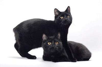Sejarah Ras Kucing Manx