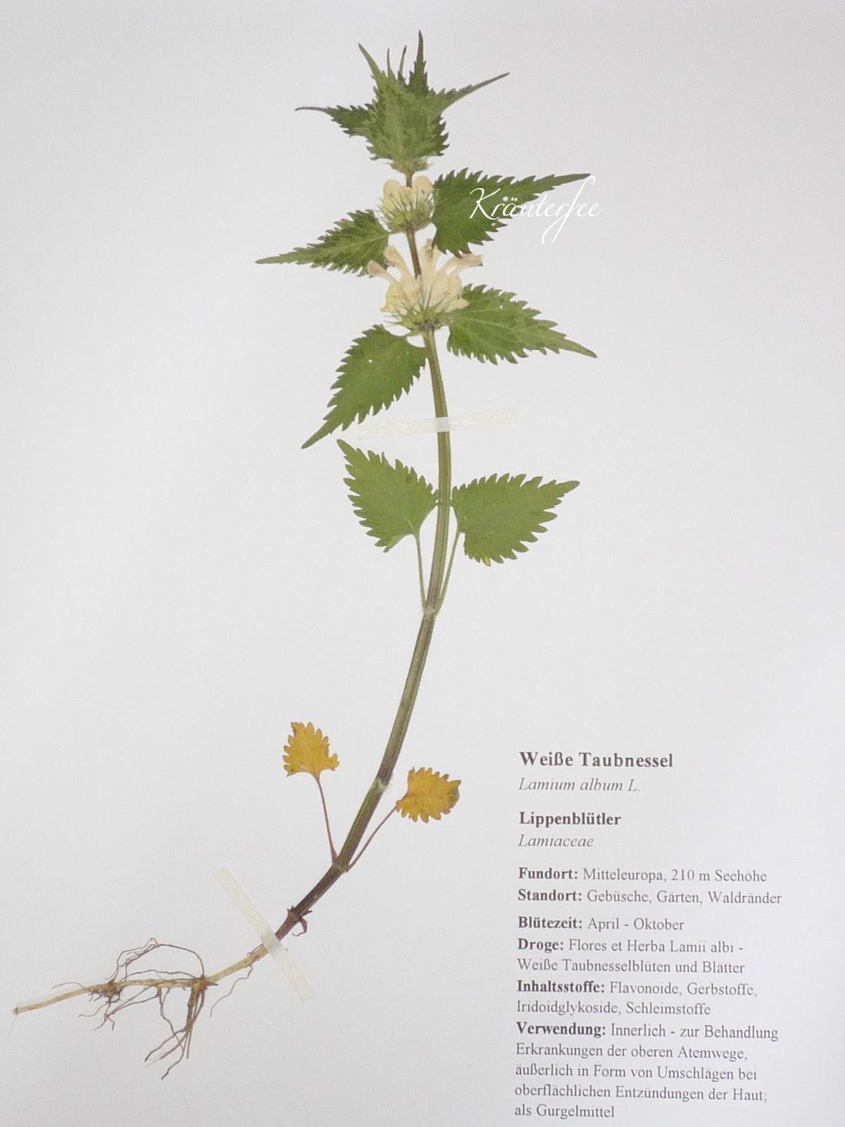 kr uterfee herbarium vorlage wei e taubnessel white dead nettle lamium album l. Black Bedroom Furniture Sets. Home Design Ideas