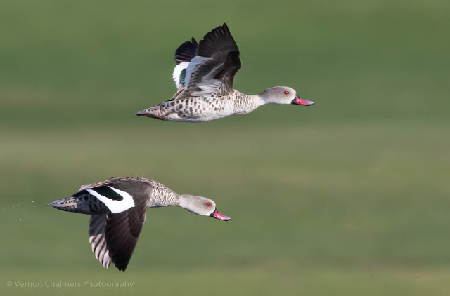 Cape Teal Ducks in Flight Table Bay Nature Reserve Woodbridge Island Vernon Chalmers Photography Copyright