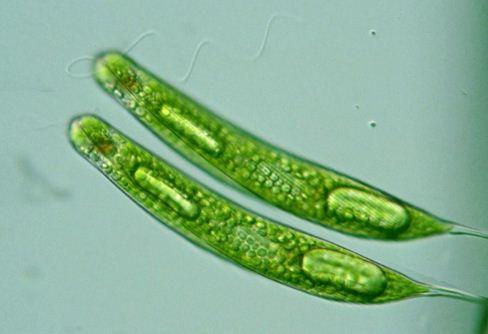 Perhatikan ciri-ciri bakteri dan protista berikut! Ciri ...