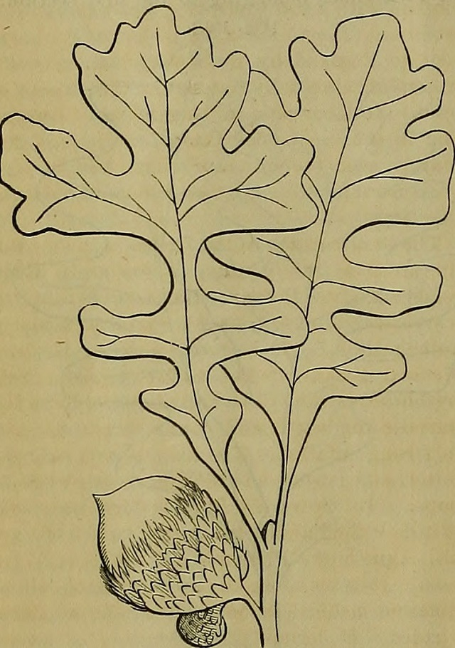 Dibujo de hojas y bellota de  Quercus_macrocarpa