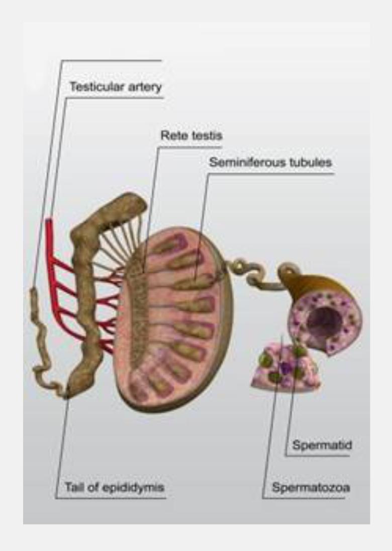 Azoospermia No Sperm Count  Causes And Treatment  Zymagazine-4794